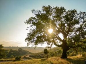 best shade trees for parking lots - black oak