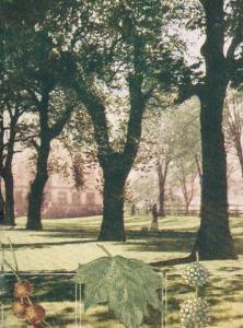parking lot trees - london plane tree