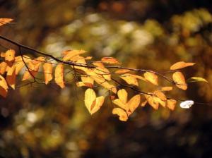 best trees to plant in virginia -american hornbeam