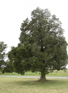 best trees to grow in virginia - red cedar