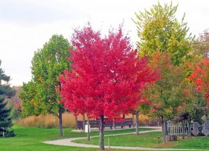 Red maples are a beautiful addition to your parking lot