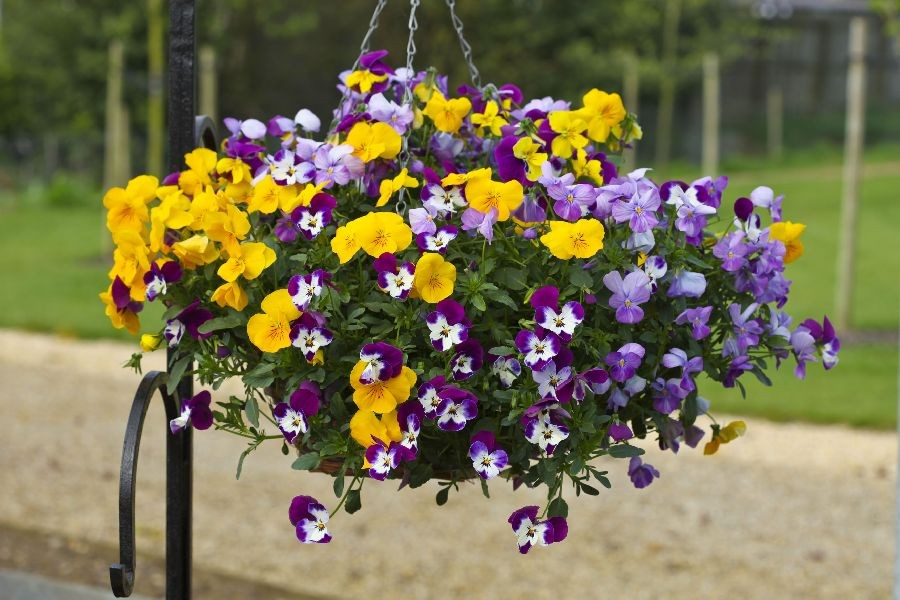 Pansies and Violas: Which One Is Best for You?